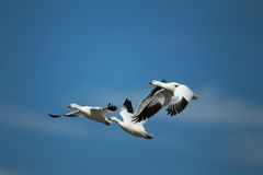 Three ross geese in flight with a blue sky background. Three ross geese flying with a blue sky background Stock Image