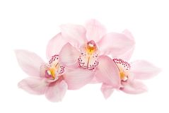 Three Rosy Orchids Isolated On White Background Stock Photography