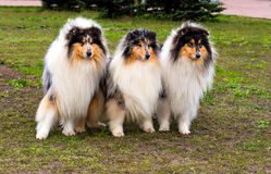 Three Rough сollies left. The Rough Collie seats on the grass in the park Royalty Free Stock Photo