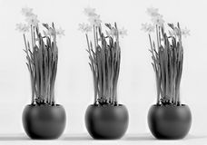 Three rounded pots with flourishing daffodils #2 Stock Photo
