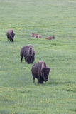 Three in a row buffalos Royalty Free Stock Images