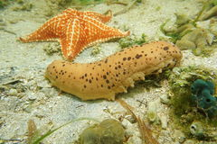 Three-rowed sea cucumber Isostichopus badionotus. Underwater creature, three-rowed sea cucumber, Isostichopus badionotus, on the seabed with a starfish in royalty free stock image