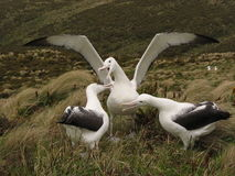 Three Royal Albatross. Courting on Campbell Island Stock Images