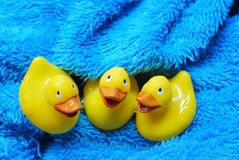 Three rubber ducks in a towel Royalty Free Stock Image