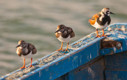 Three Ruddy Turnstones Royalty Free Stock Image