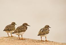 Three Rudy Turnstone Stock Photo