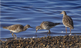 Three Ruffs at Martin Mere Stock Images
