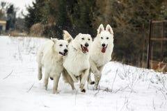 Three running dogs Stock Photos