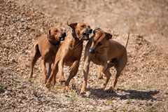 Three running rodesian ridgeback dogs. In a sandpit play together royalty free stock photos