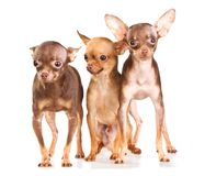Three Russian toy terrier Stock Photography