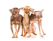 Three Russian toy terrier Royalty Free Stock Photos