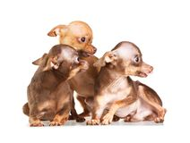 Three Russian toy terrier Royalty Free Stock Image