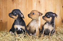 Three Russian Toy Terrier puppies Royalty Free Stock Image