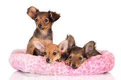 Three russian toy terrier puppies in their bed Stock Photos