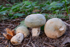Three Russula virescens wild mushrooms Royalty Free Stock Photos