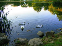 Three's Company. Three ducks wading in a tranquil lake Royalty Free Stock Photos