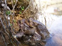 Three's a crowd. Two frogs during mating season with a third trying to squeeze in royalty free stock photography