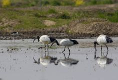 Three sacred ibis reflected in water Stock Photo