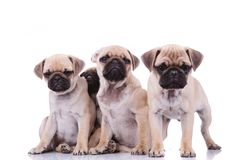 Three sad pugs and an adorable one hiding behind them. On white background Royalty Free Stock Image