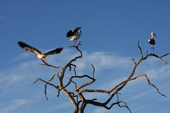 Three Saddle-billed Stork. Saddle-billed storks on tree in South Africa Stock Photos