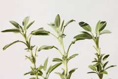 Three sage (salvia) plants Royalty Free Stock Images