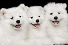 Three Samoyed Puppies isolated on Black background Stock Photos