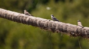 Three Sand-colored Nighthawks Stock Photography