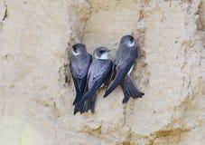 Three sand martin near nest. Close up photo Stock Images