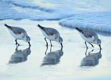 Three Sanderlings Forage on the Shore as Waves Roll In Stock Images