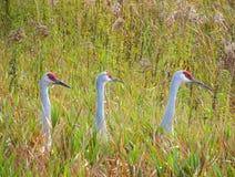 Three Sandhill Cranes Stock Images