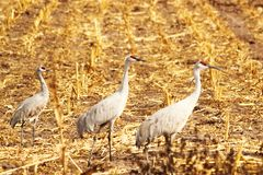 Three Sandhill Cranes Royalty Free Stock Image