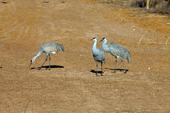 Three sandhill cranes Royalty Free Stock Photo