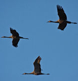 Three Sandhill Cranes in Flight Royalty Free Stock Images