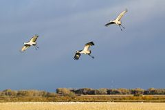 Three Sandhill cranes fly over the Bosque del Apache National Wildlife Refuge at sunrise, near San Antonio and Socorro, New Mexico Royalty Free Stock Images