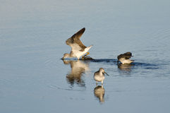 Three Sandpipers in Shallow Water Stock Image