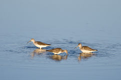 Three Sandpipers in Shallow Water Royalty Free Stock Image