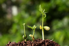 Three saplings growing Stock Images