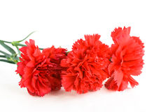 Three scarlet carnations Stock Images