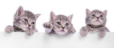 Three Scottish kitten. Holding a billboard. animals  on a white background Stock Photography