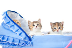 Three Scottish kittens in baby carriage Royalty Free Stock Photos