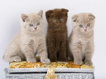 Three Scottish Shorthair kittens. Stock Image