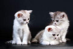 Three Scottish Straight breed kittens. On black. No isolated Stock Photography