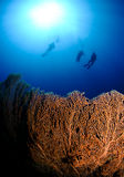 Three scuba divers swim above sea fan Royalty Free Stock Images