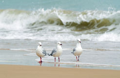Three sea birds paddling in waters edge of beach. A cool, crisp summertime photograph of a small flock of seagulls enjoying the waves, sea and surf of the Royalty Free Stock Image