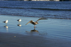 Three sea gulls Stock Photo