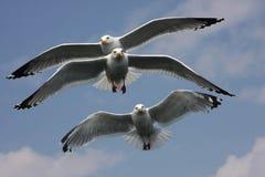 Three sea gulls. Baikal sea gulls in sailing flight Royalty Free Stock Images