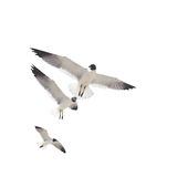 Three Sea Gulls on White Stock Images