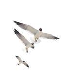 Three Sea Gulls on White. Three sea gulls isolated on white Stock Images