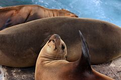 Three sea lions Royalty Free Stock Photo