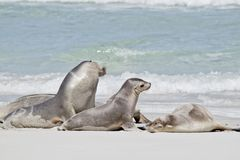 Three sea lions. The three sea lions are on the beach royalty free stock photography